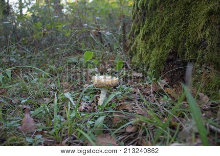 a moss covered oak tree trunk stands in a autumn woodland with Mushrooms a ground. Forest background. Forest background