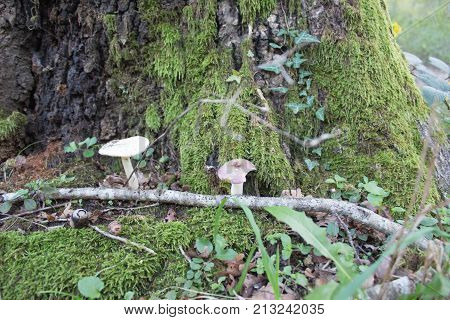 Moss covered oak tree with Mushrooms a ground. Forest background