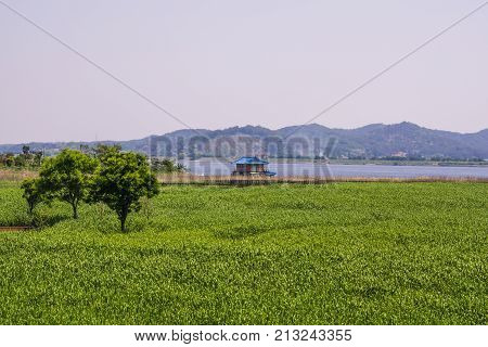 Sinseongni Reed Field of green wave of Seocheon-gun, Chungcheongnam-do