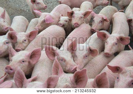 Livestock breeding. Group of pigs in farm yard.