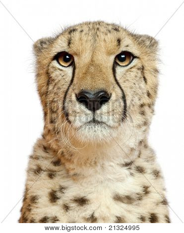 Close-up of Cheetah, Acinonyx jubatus, 18 months old, in front of white background