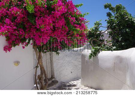 Flowers bougainvillea in Santorini, Greece. Greece. It makes tourists feel happy and enjoy trip more.