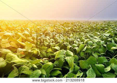 Soy plantation lit by early morning light