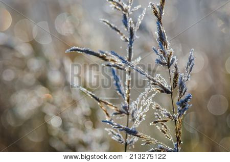 FROSTY MORNING- Autumn hoarfrost on dry grass