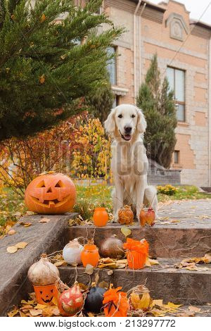 Golden retriever, autumn leaves, pumpkin and decor items for Halloween. Colorful autumn foliage in the background.