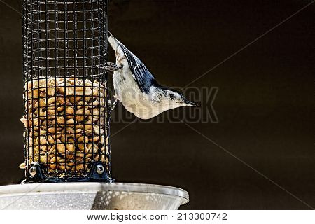 White Breasted Nuthatch on a bird feeder.