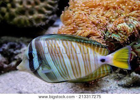 Surgeonfish Swimming Around Corals, Fiji