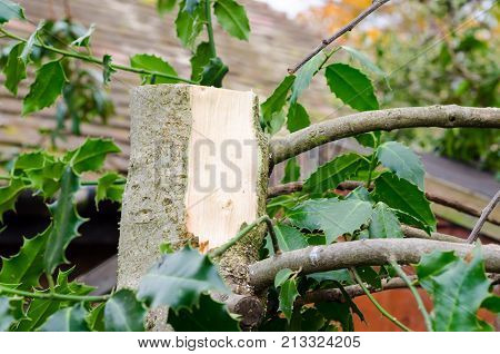 A Holly Tree (Ilex Aquifolium) Following Pruning