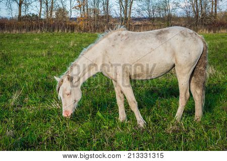 Rural horse is groomed and unkempt grazing in the meadow. Idyllic peaceful world of animals.