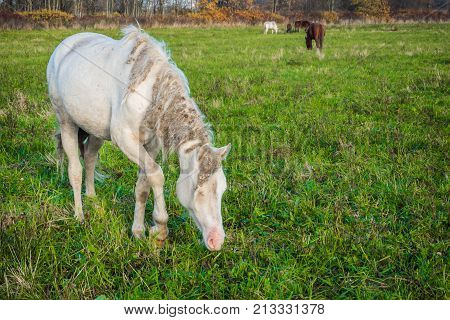 Wild White horse is groomed and unkempt grazing in the meadow. The world and the animal life outside of human civilization.