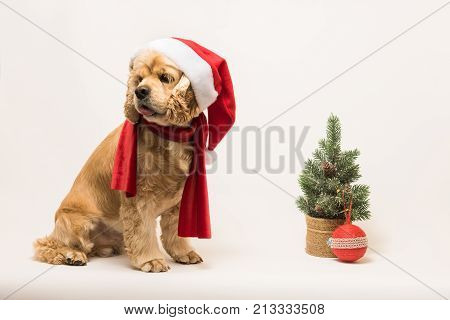 American cocker spaniel with Santa's cap and a red scarf on white background. The dog sits side view. Red christmas tree and ball near dog.