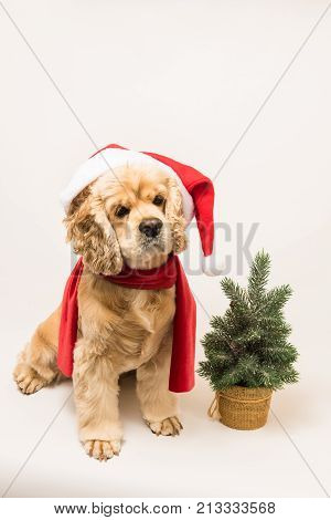 American cocker spaniel with Santa's cap and a red scarf on white background. The dog sits top shot. Red christmas tree near dog.
