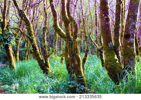 Trees with moss surrounded by lush green plants taken in a temperate rain forest