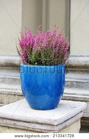 flowering heather in a blue ceramic pot