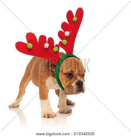 side view of a cute english bulldog puppy wearing reindeer headband with horns and looks away on white background