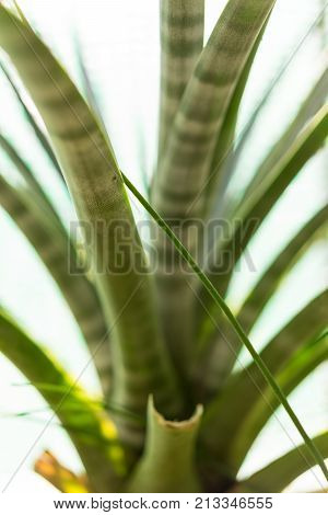 tillandsia hildae cactus plant leaf close up