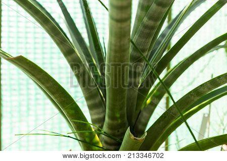 cactus tillandsia hildae succulent botany floral plant