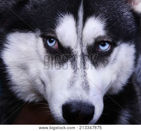 Siberian husky dog with blue eyes. Close-up