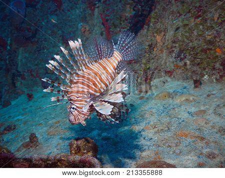 Portrait of Lion Fish in Playa del Carmen