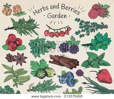 Herbs , berries garden. Vegan food, dewberry, gooseberries, raspberry, strawberry, blueberry, cloudberry, herbs, basil, coriander, dill, mint, oregano, parsley, rosemary, rocket,  tarragon