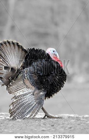 Black And White Photography With Color Turkey-cock