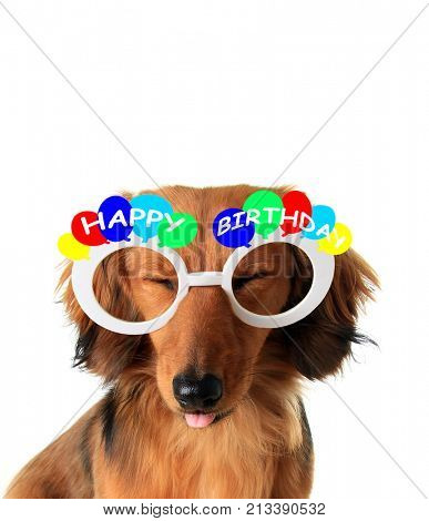 Funny Happy Birthday dachshund puppy with eyes closed and tongue sticking out.