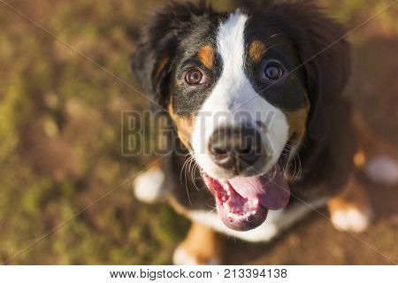 smiling puppy bernese