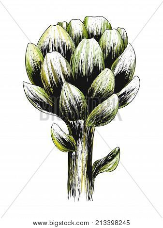 Artichoke green flower head isolated on white background. Fresh eco-friendly product. Organic healthy food.Vector vegetable illustration. Design for health and beauty natural product. Hand drawn print