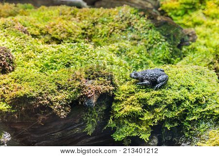 closeup of European toad sitting on wet moss