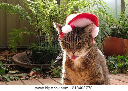 Grumpy Christmas Tabby cat with a Santa hat on its head and poking out tongue poster