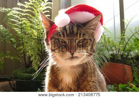 Grumpy Christmas Tabby cat with a Santa hat on its head and not feeling festive