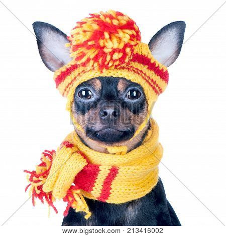 Funny dog in a knitted cap and scarf portrait of a macro isolated. Autumn winter clothes for dogs.