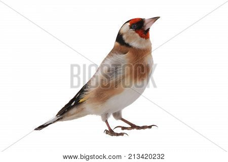 goldfinch isolated on a white background, studio shot