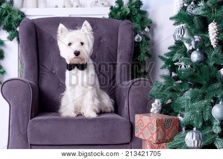 West highland white terrier dog as symbol of 2018 New Year with black bow tie sitting on sofa and Christmas pine tree with silver decoration and gifts on background