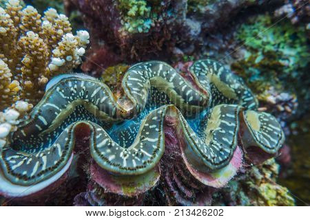 giant clam while on a dive in japan