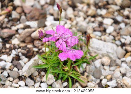 Alpine Pink (dianthus Alpinus)