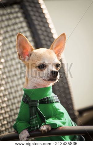 Dog in green clothes for a walk