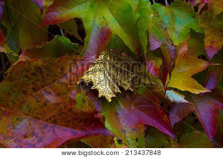 Exceptional golden leaf between autumn leaves of a suckert woodbine - five finger.