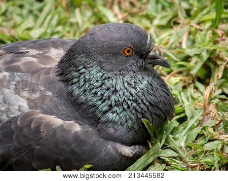 Closeup of pigeon puffed up sitting on grass
