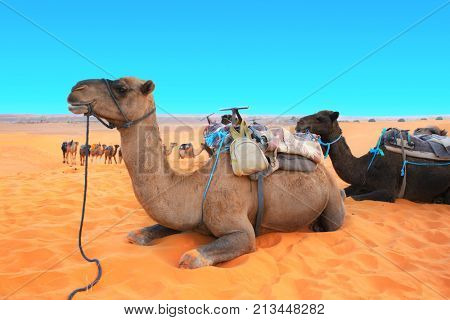 Camels in Sahara desert, Morocco. Two camels dromedary resting lying on the sand. On blue sky background