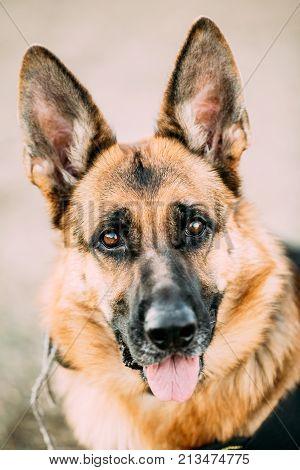 German Shepherd Dog Close Up. Alsatian Wolf Dog Or German Shepherd Dog. Deutscher Dog.