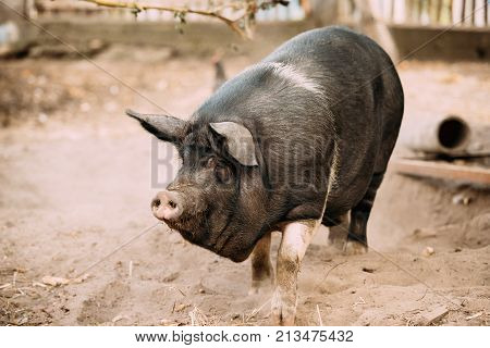 Household Large Black Pig In Farm. Pig Farming Is Raising And Breeding Of Domestic Pigs. It Is A Branch Of Animal Husbandry.