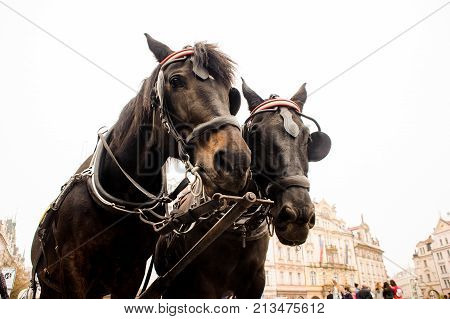 Two beautiful thoroughbred brown horses in a harness on the background of town. Horse concept