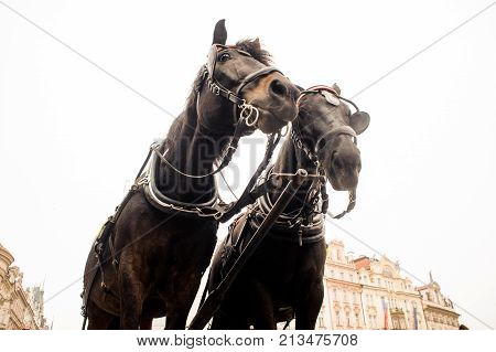 Couple of beautiful thoroughbred brown horses in a harness on the background of town. Horse concept