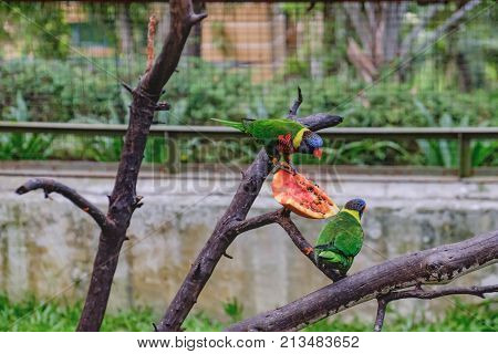 Rainbow Lorikeets or Trichoglossus haematodus sit on a tree branch and eating papaya in Kuala Lumpur Bird Park, Kuala Lumpur, Malaysia