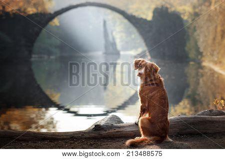 Dog Nova Scotia Duck Tolling Retriever On A Background Of The Beautiful Bridge