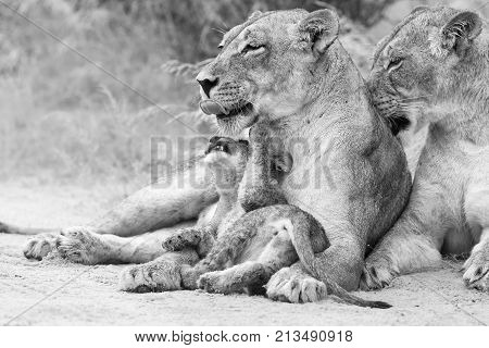 Lioness licks her cub to dry it of the rain drops in an artistic conversion