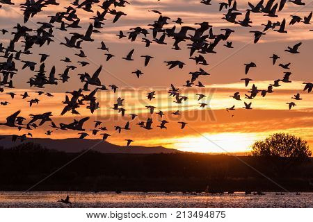 snow geese in flight silhouetted at sunrise
