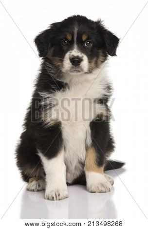 Australian Shepherd puppy, 8 weeks old, sitting in front of white background