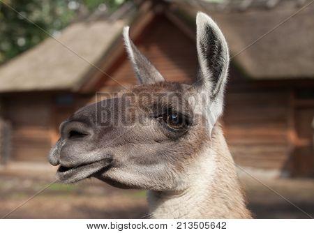 portrait of a South American home brown Lama glama closeup